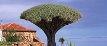 3800664A-Tenerife-Los Realejos-Drago de Siete Fuentes